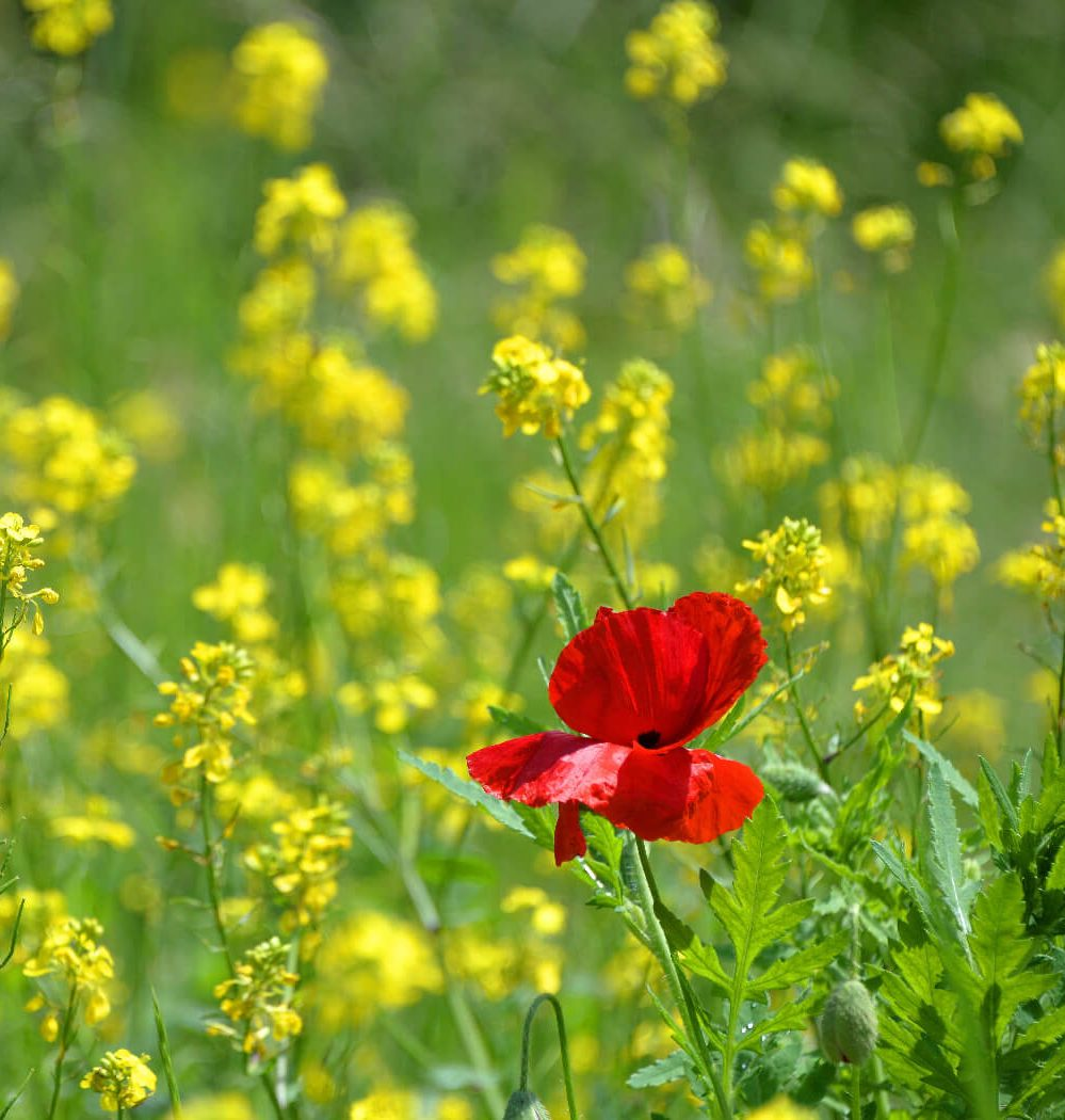 A red poppy in field of yellow flowers